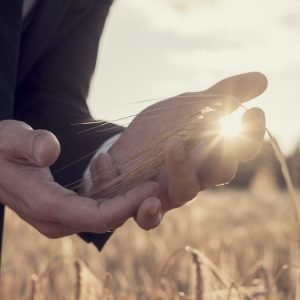 Hands of a man in a wheat field with sunburst